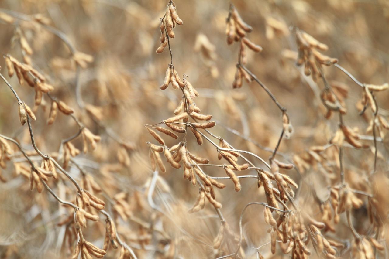 SOJA - Levantamento indica que o atraso nas chuvas e as condições climáticas para o cultivo do grão foram favoráveis